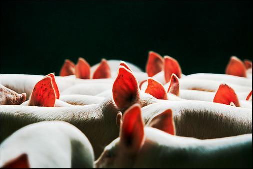 Piglets. Photo © Peter Dean© Peter Dean / Agripicture Images